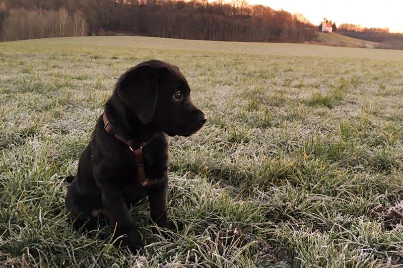 Labrador Welpe im Grünen